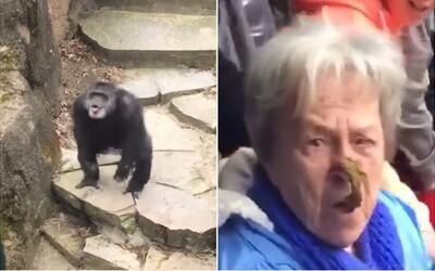 Exkrement přímo do obličeje. Překvapená babička v zoo poznala šimpanzovu mušku na vlastní oči