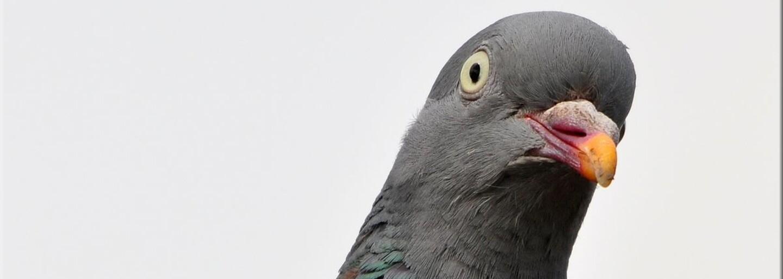 Extázu sa pokúsili prepašovať na chrbte holuba. Takmer 200 tabletiek mal vták preniesť cez strážené hranice