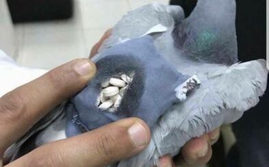Extázi se pokoušeli pašovat na bedrech holuba. Téměř 200 pilulek měl pták přenést přes strážené hranice
