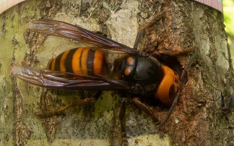 Vraždící sršně odtrhávají včelám hlavy. Američtí vědci našli první kus agresivního hmyzu v tomto roce.