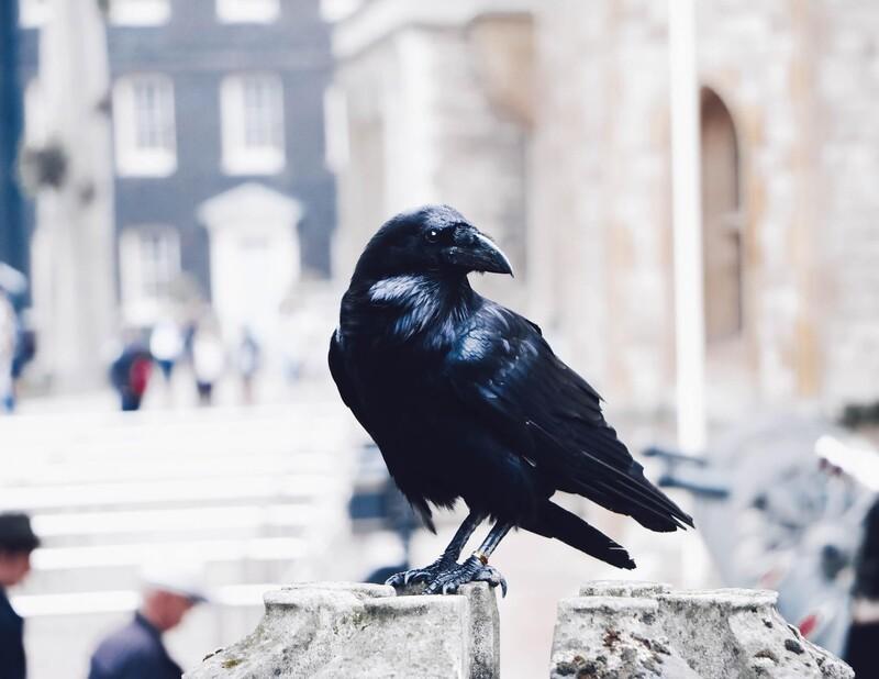 Vrany dokážu rozoznávať ľudské tváre.