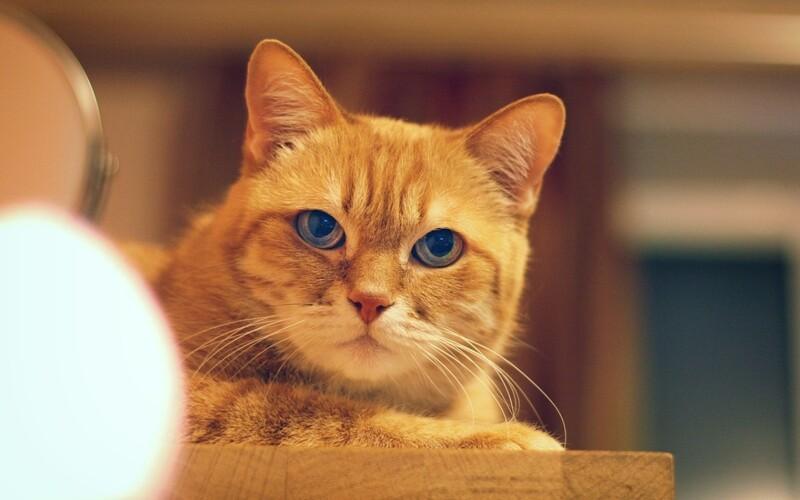Kočky se mohou nakazit koronavirem, uvádí studie. Psi jsou proti viru odolnější.