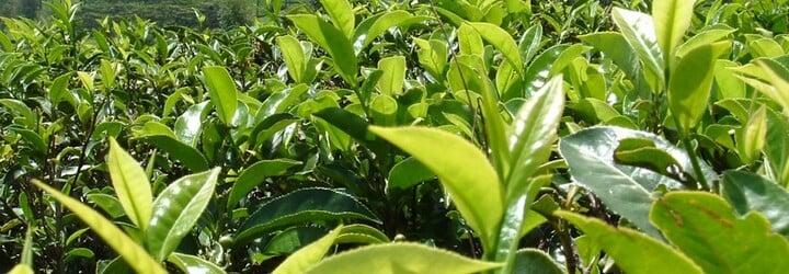 Prírodná kozmetika je trendom už nejakú dobu. Aké účinky má pre našu krásu zelený čaj?