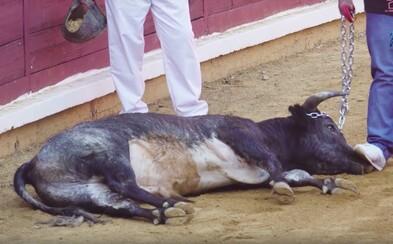 Fanúšikovia matadorov sa boja reálnych býkov, tak im predhadzujú teliatka na cvičenie. Tie najprv neúspešne bodajú, kým ich zabijú