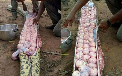 Farmáři v Nigérii zabili hada, protože ho považovali za zabijáka dobytka. Ve skutečnosti měl v sobě jen desítky vajíček