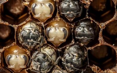 Fascinujúci časozberzný záznam 21-dňového zrodu včely medonosnej