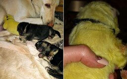 Fenke sa narodil svetlozelený nemecký ovčiak. Volajú ho Hulk