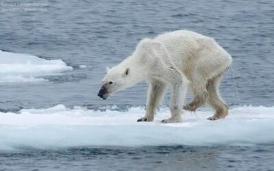 Fotka hubeného ledního medvěda vhání slzy do očí. Klimatické změny postihly i jeho