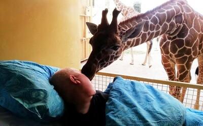 FOTO: Žirafa dáva posledné zbohom jej umierajúcemu opatrovateľovi ZOO