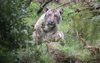 Fotograf zachytil mimoriadne vzácneho bledého tigra len zopár desiatok metrov od seba