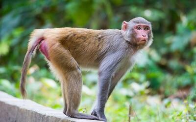 Gang opíc napadol pracovníka laboratória. Potom utiekli so vzorkami Covid-19 a na krvných testoch si začali pochutnávať