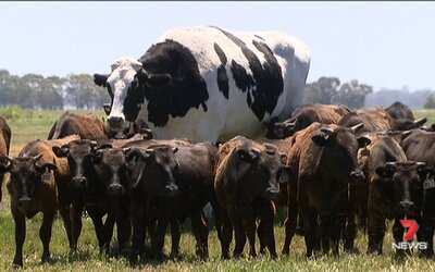Gigantický býk váži 1,4 tony a meria skoro 2 metre. Veľkosť ho zachránila pred bitúnkom