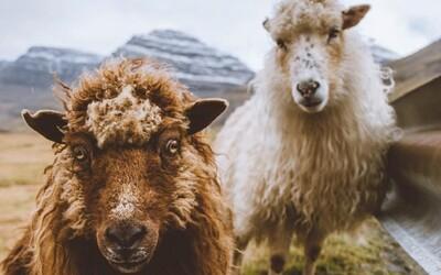Google na Faerské ostrovy dlouho zapomínal. Lidem poslal vybavení, aby mohli natočit záběry pro Street View z ovčích hřbetů