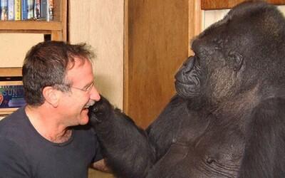 Gorila Koko zostala po smrti Robina Williamsa smutná. Boli veľmi dobrí priatelia