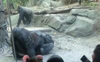 Gorily mali pred návštevníkmi ZOO orálny sex. Rodičia zhrozene odkláňali deti od okien výbehu