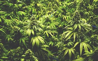 Grécko legalizovalo marihuanu na lekárske účely. Cez Európu práve prechádza vlna marihuanovej revolúcie, ktorá upravuje legislatívu aj vnímanie