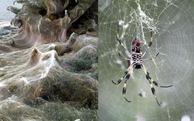Grécku pláž pokryli vynaliezavé pavúky obrovskou 300-metrovou pavučinou, ktorú využívajú aj pri rozmnožovaní