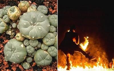 Halucinogénna droga starých indiánskych kmeňov rozprúdila v Mexiku drogový turizmus
