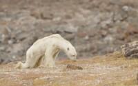 Hladovějící lední medvěd na smutných záběrech je srdceryvným důkazem globálního oteplování. Sotva se hýbe, protože už nemá kde lovit