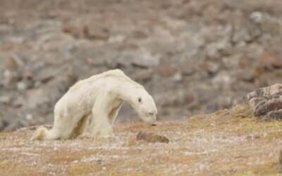 Hladujúci ľadový medveď na smutných záberoch je najsrdcervúcejším dôkazom globálneho otepľovania. Ledva sa hýbe, pretože už nemá kde loviť