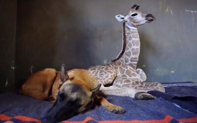 Hlídací pes Hunter se stará o osiřelé mládě žirafy. Z dvojice zvířat se stali přátelé