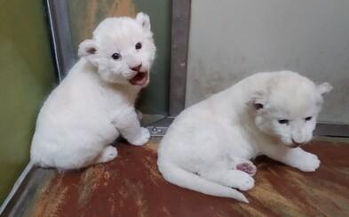 Hodonínská zoo slaví vzácný přírůstek! Dvě lví mláďata se mají čile k světu