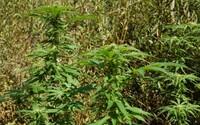 Holčička si chtěla vystřelit z tísňové linky. Vyslaná hlídka našla u nich doma marihuanu, matka je nyní v problémech