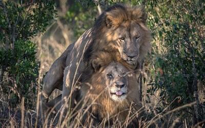 Homosexuálne levy chcú v Keni poslať na terapiu. Správanie vraj odpozorovali od gay návštevníkov národného parku alebo ich posadli démoni