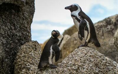 Homosexuálny pár tučniakov ukradol vajíčko, chceli sa stať oteckami