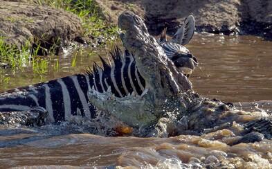 Hrdinská zebra, která útočícímu krokodýlovi oplatila kousnutí! Podařilo se jí přežít jen se zlomenou nohou