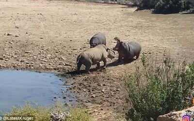 Hroch nemilosrdne utopil nosorožca, ktorý mu okupoval jeho vodnú plochu. Nechcel z nej odísť, tak na to doplatil životom
