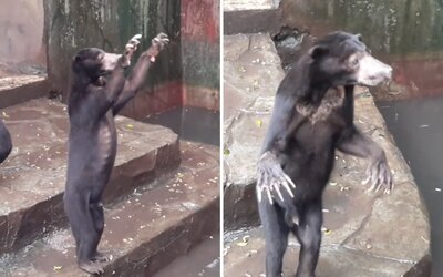 Hrozivý pohľad na vyhladované medvede v indonézskej zoologickej záhrade, ktoré prosia návštevníkov o akékoľvek jedlo