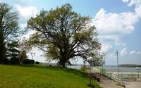 Hruška z Bošáce bojuje o titul Európskeho stromu roka!