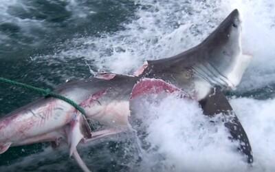 I žraloci jsou kanibalové. Jeden svého soupeře téměř překousl na polovinu v souboji na život a na smrt