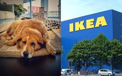 IKEA chrání toulavé psy před mrazem. Kromě vstupu do budovy dostanou i jídlo