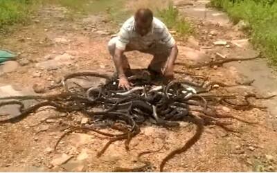 Indický chlapík vypustil do prírody 285 hadov naraz. Salem sa ich odchytu venuje už 30 rokov a prácu by nemenil