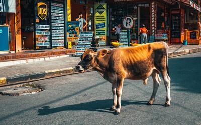 Indovia tvrdili, že kravské lajná ani moč covid-19 nevyliečia. Za post na Facebooku skončili za mrežami