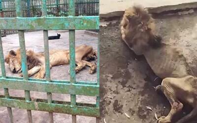 Internet neveriacky reaguje na podvyživeného leva z Bangladéša, ktorý dodnes trpí v miestnej zoo. Už ho radšej odstránili aj z výbehu