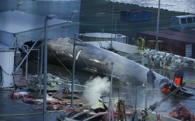 Islanďania ulovili vzácnu veľrybu. Hrozí im vysoká pokuta