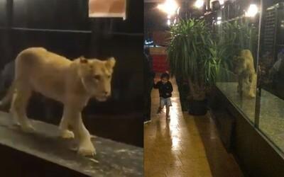 Istanbulská kavárna umístila lva do vitríny. Hosté popíjejí s výhledem na ubohé zvíře