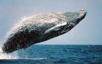 Japonci chtějí po 32 letech obnovit komerční lov velryb. Je jich už zase dostatek, tvrdí