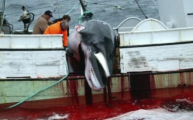 Japonci zabili 120 gravidných veľrýb pod zámienkou výskumu. Len za minulé leto vyvraždili celkovo 333 vzácnych zvierat