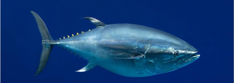 Japonec koupil v aukci více než dvěstěkilového tuňáka za více než 16 milionů korun. Chtěl se totiž stát majitelem první prodané ryby v Tokiu