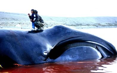 Japonsko obnoví komerčný lov veľrýb