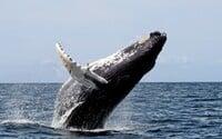 Japonsko začíná znovu lovit velryby pro komerční účely, oficiálně poprvé od roku 1986