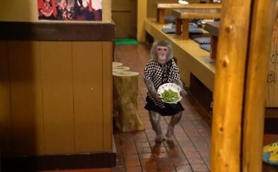 Japonský hostinec zamestnáva makaky. Obsluhujú zákazníkov a zaplatené dostávajú banánmi
