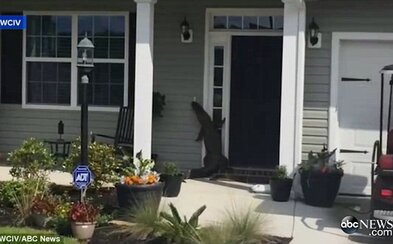Je niekto doma? Odvážny aligátor prišiel zazvoniť priamo ku dverám, avšak v tej chvíli mu nemal kto otvoriť