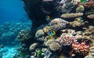 Je pozdě, korálových útesů v mořích rapidně ubývá. Blednou a vymírají kvůli těžbě plynu