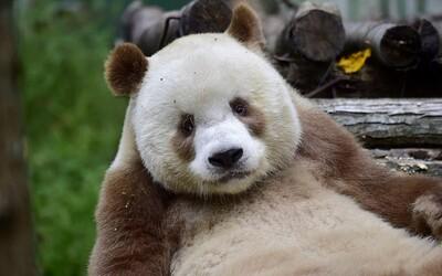 Jediná hnědá panda na světě Qizai si spokojeně žije svůj život. V dětství ji opustila matka, ale ona se tak snadno nevzdala