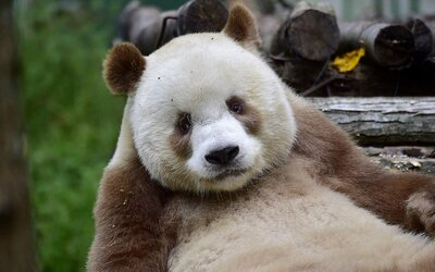 Jediná hnedá panda na svete Qizai si spokojne žije svoj život. V detstve ju opustila matka, ale ona sa tak ľahko nevzdala